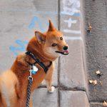 Les meilleurs Harnais Canicross pour votre chien