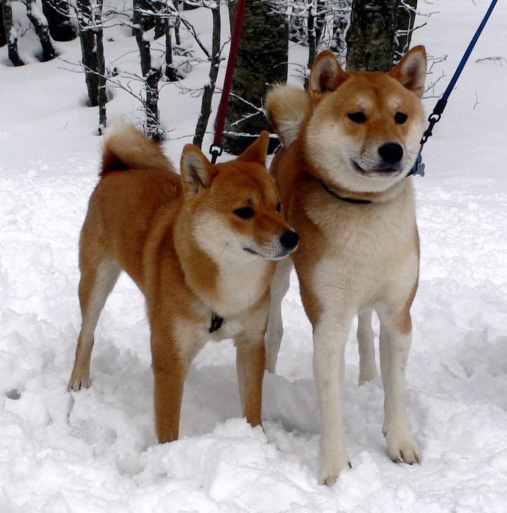 deux shiba inu dans la neige