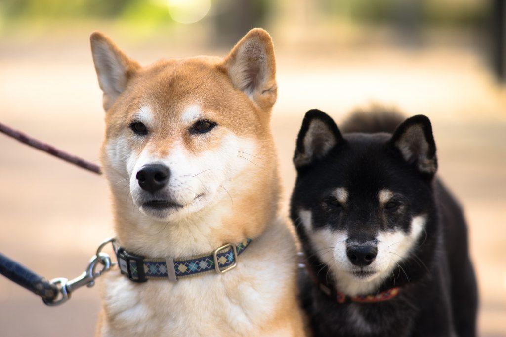 deux magnifique shiba inu