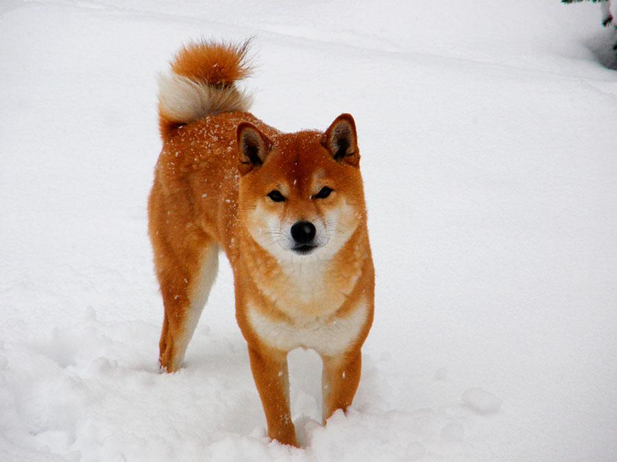 Shiba dans la neige