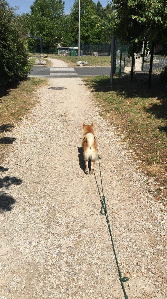 Shiba inu en promenade