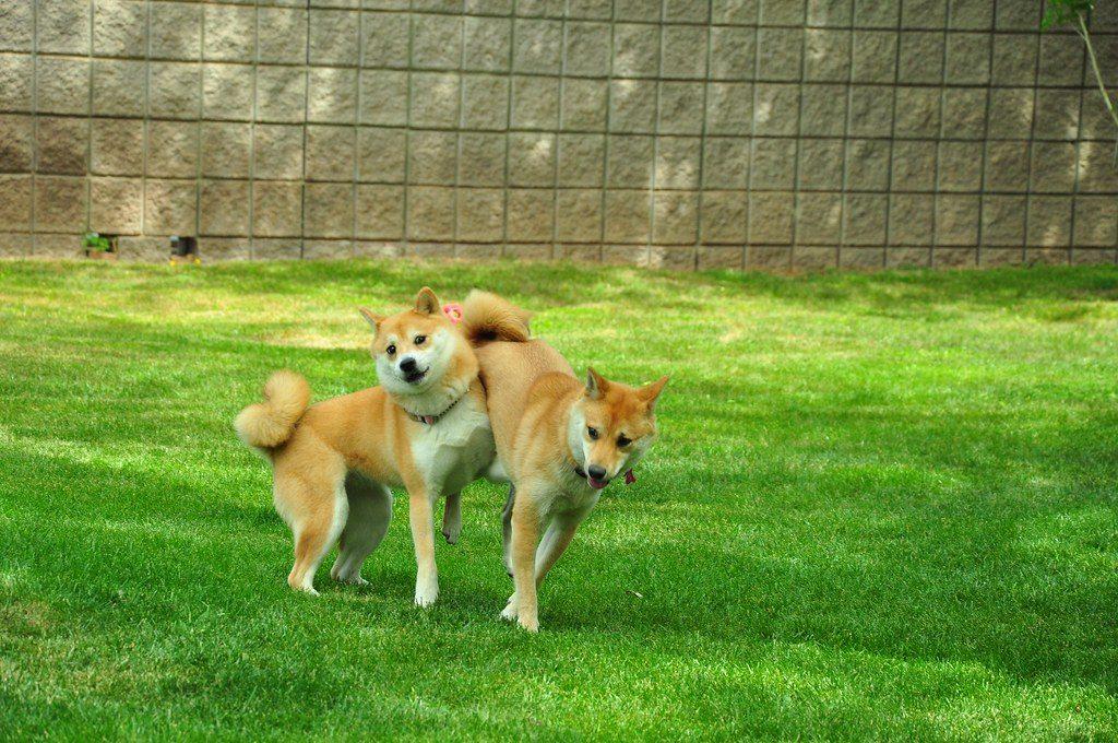deux shiba inu magnifique entrain de jouer