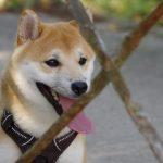 7 Choses à savoir avant d'adopter un chiot Shiba Inu