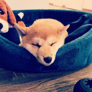 Nabu chiot shiba inu dort dans son panier