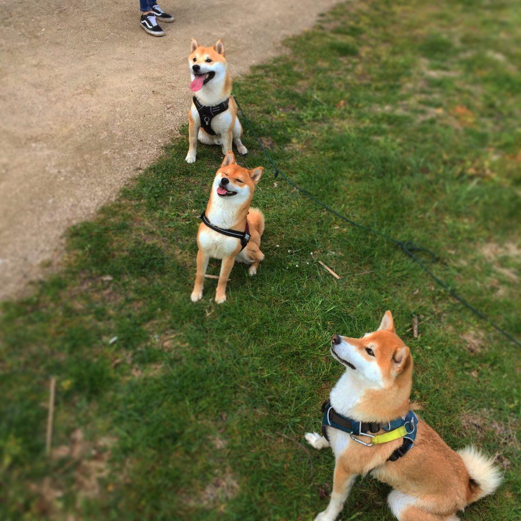trois shiba qui jouent