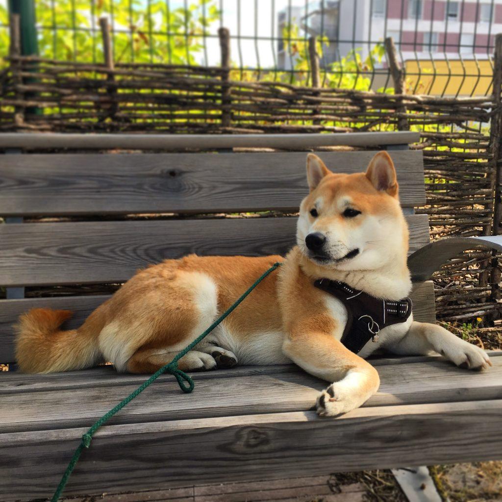 Nabu le shiba inu sur un banc