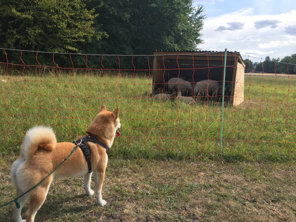 shiba chasse des moutons