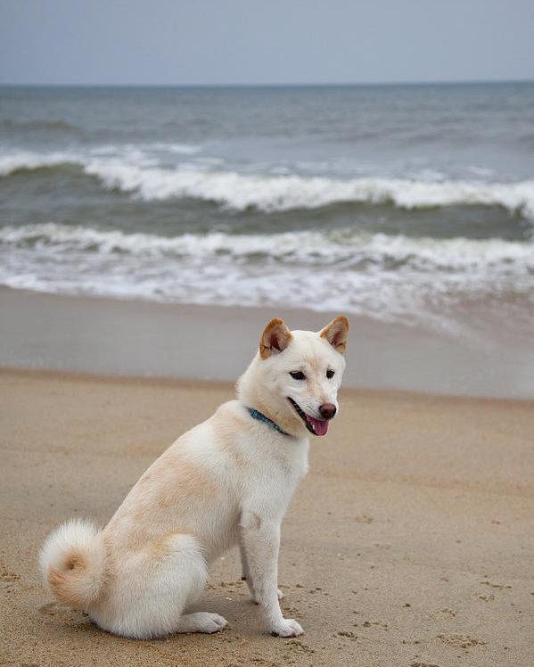 shiba inu blanc plage