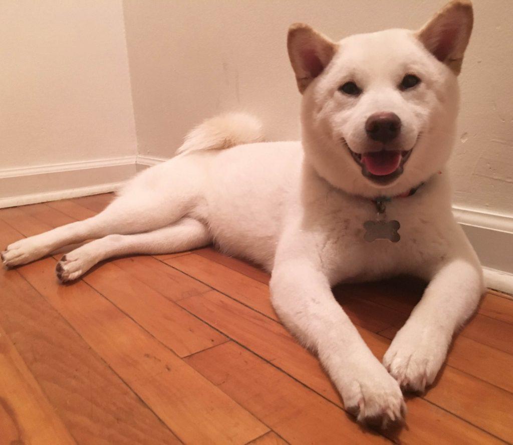 shiba blanc sourire