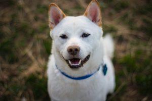 Un magnifique portrait d'un shiba inu blanc