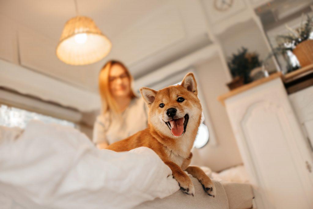 Shiba heureux sur son lit
