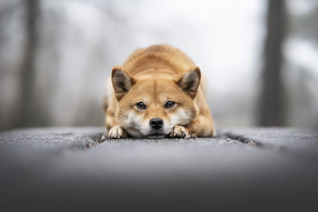 chien shiba inu dans le gel