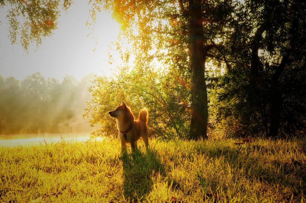 Shiba inu et un coucher de soleil