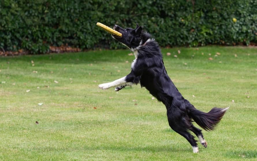 chien qui joue au frisbee