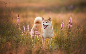 shiba dans la prairie